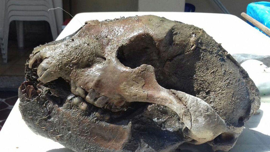Hallan más de 200 fósiles prehistóricos en Junín