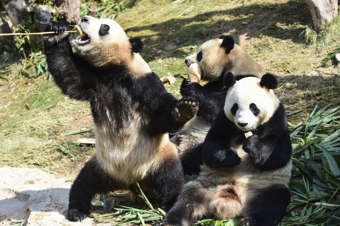 China creará un parque nacional para osos pandas de 2,7 millones de hectáreas