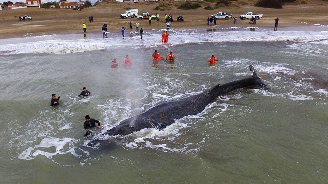 Intentan rescatar a una ballena encallada en Punta Mogotes