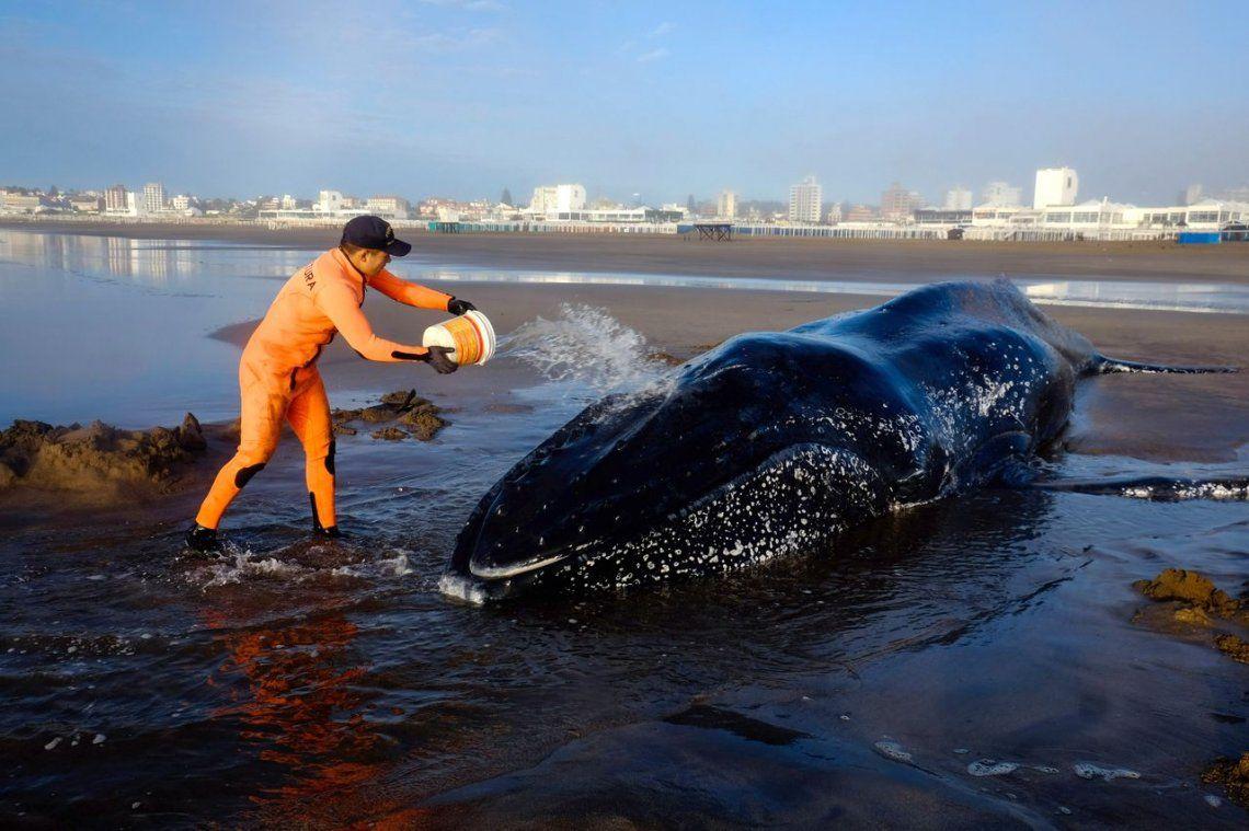 Murió la ballena que estaba encallada en Punta Mogotes