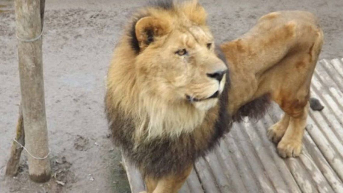 Vecinos de Berazategui denunciaron que vieron un león suelto