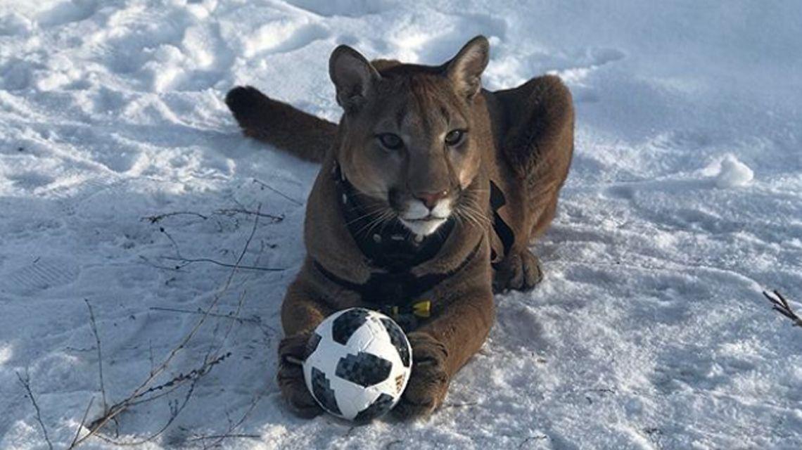Messi, el puma domesticado que es furor en las redes