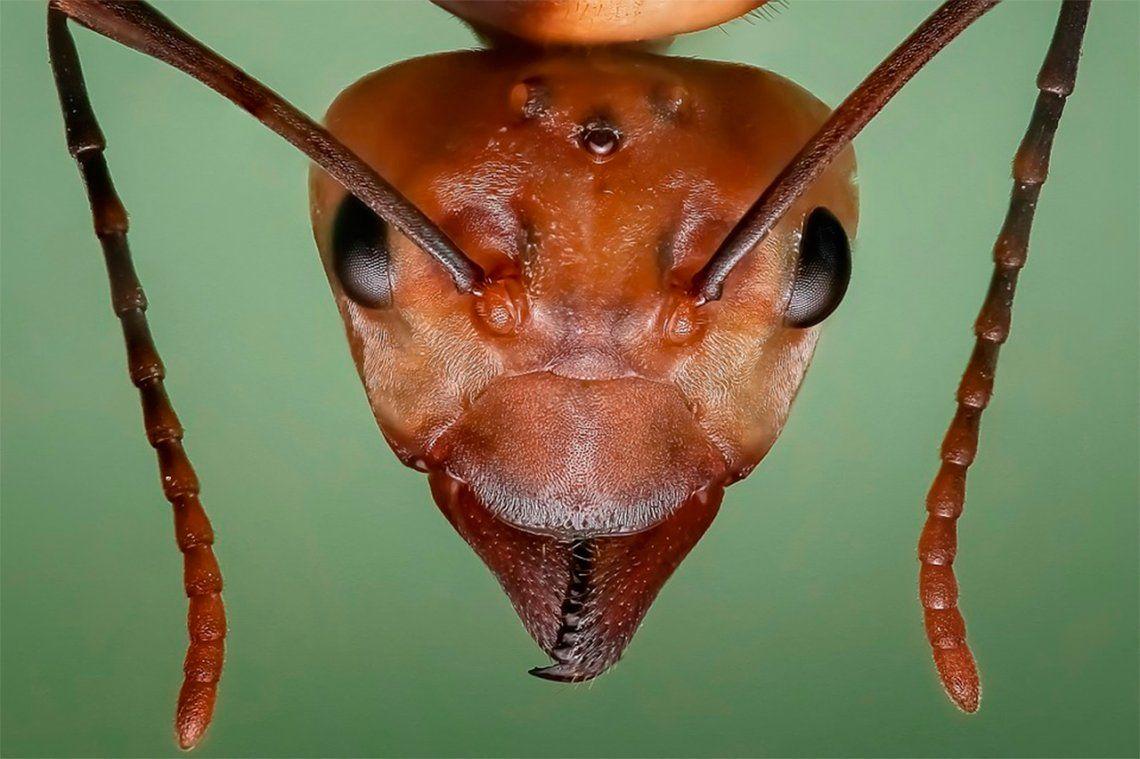 Los beneficios de las hormigas como base de medicamentos