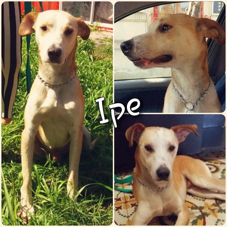Ipe, un perro muy guardián