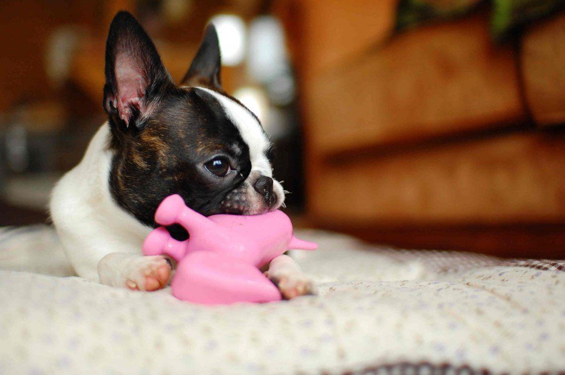 La salida de los primeros dientes en los cachorros