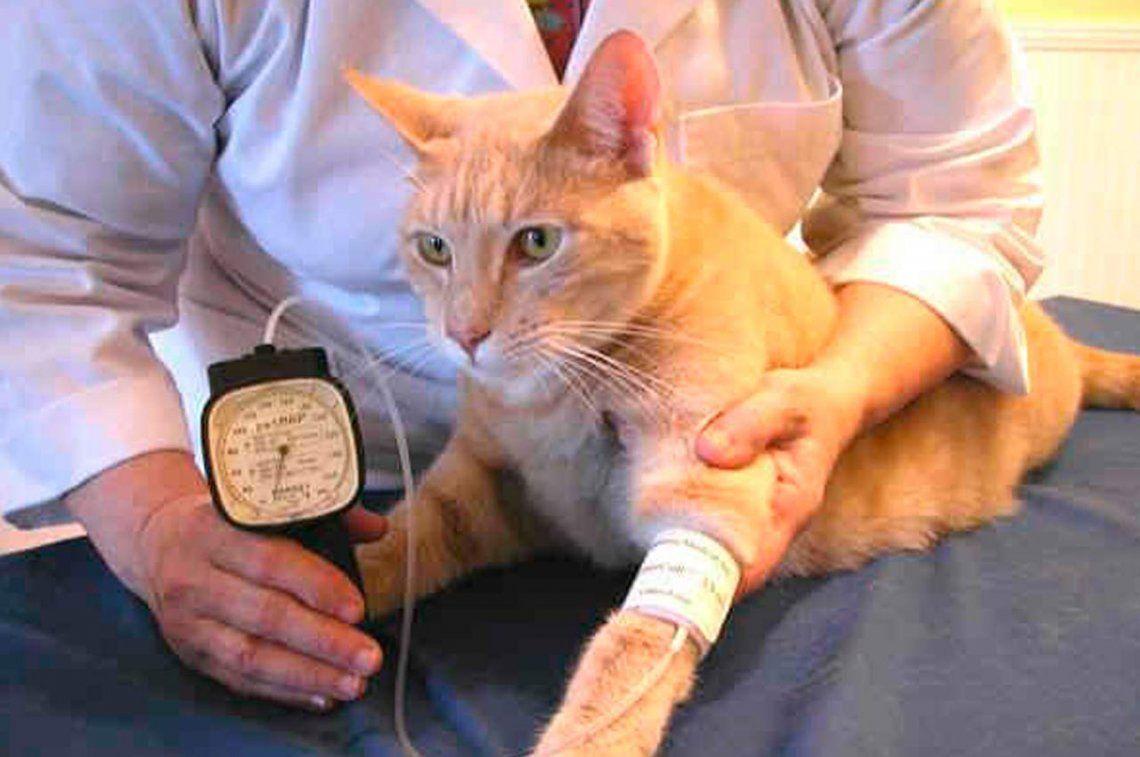 Los gatos también pueden padecer hipertensión