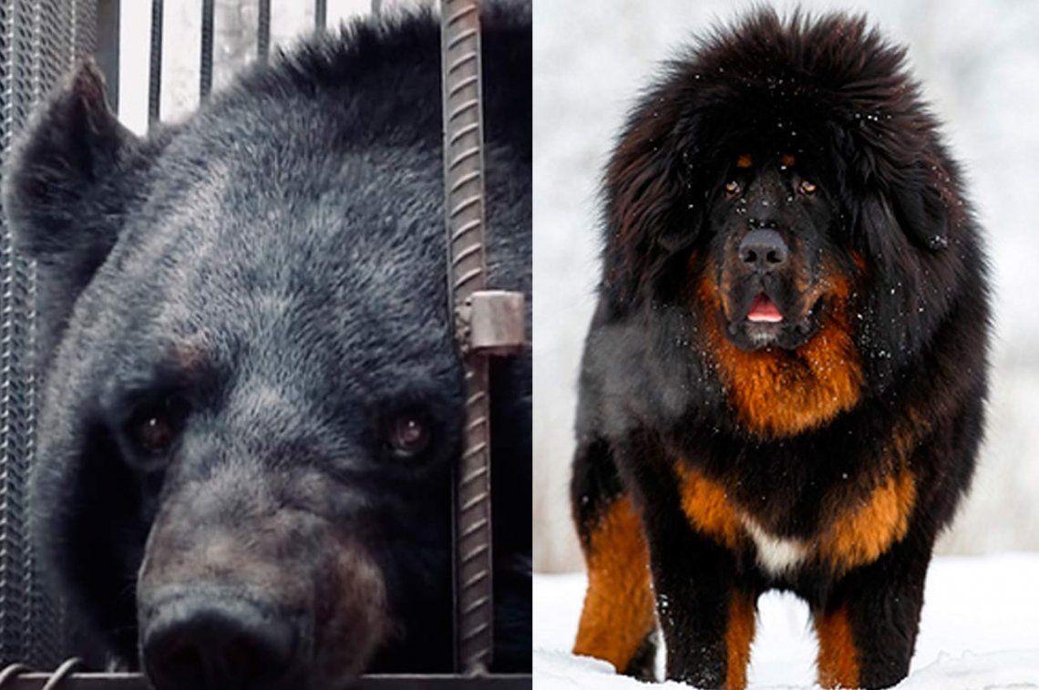 Criaron por dos años un cachorro creyendo que era un perro... ¡pero era un oso!