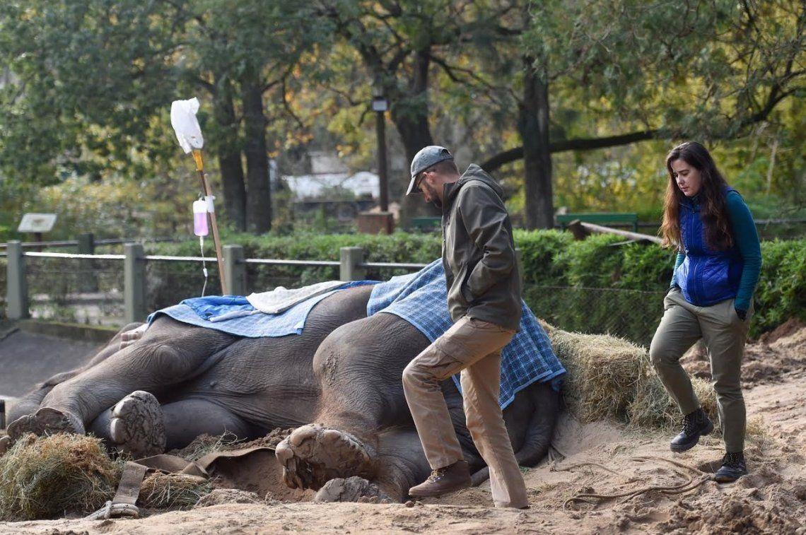 Falleció la elefanta Pelusa, emblema del zoo de La Plata