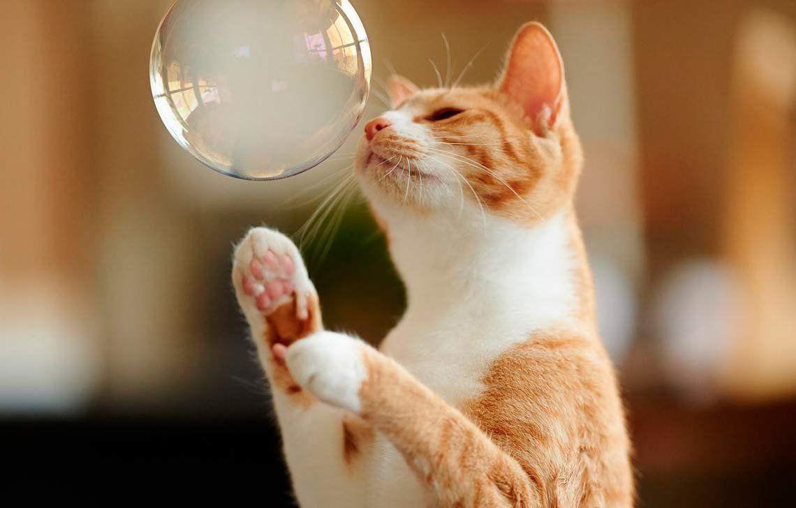 Los gatos machos tienen tendencia a ser zurdos
