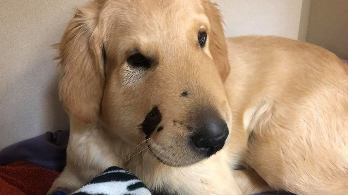 Cachorro héroe: salvó a su humana de ser mordida por una serpiente