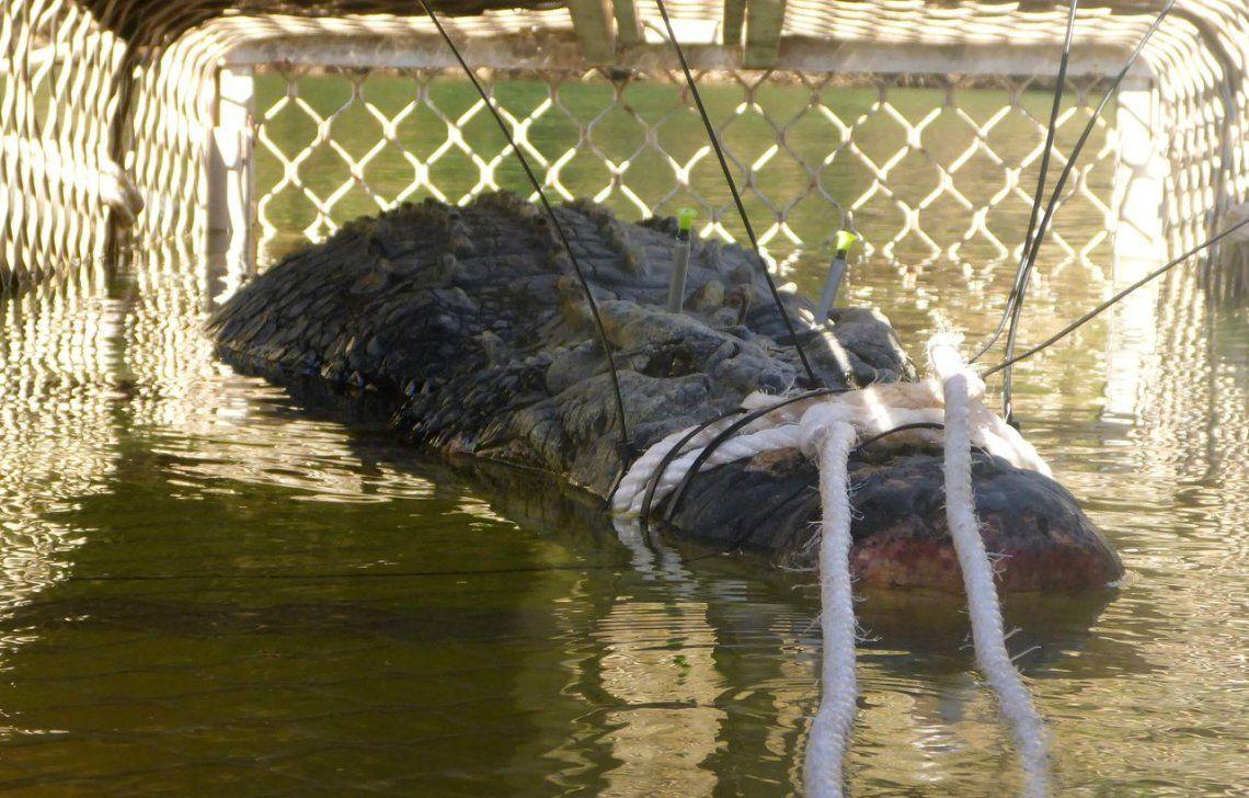 Australia: capturaron a un cocodrilo gigante de 600 kilos y 5 metros de largo
