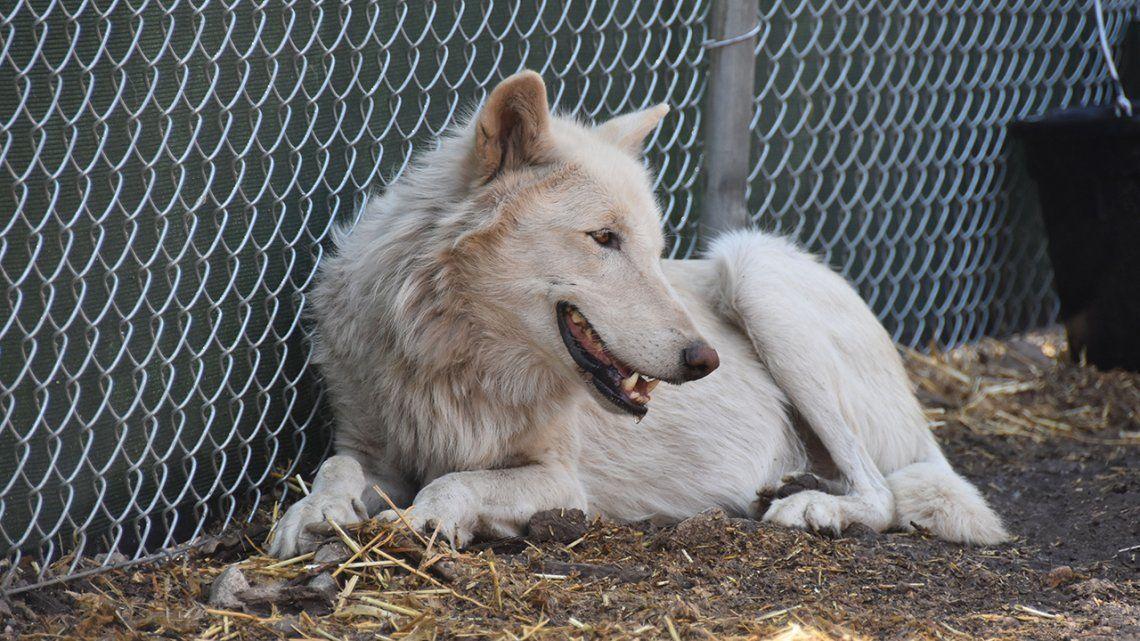 Exsoldados realizan tratamientos contra el estrés postraumático con lobos