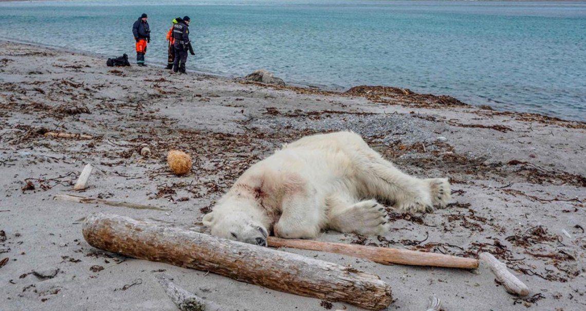 Matan a un oso polar que atacó a un guía turístico durante una excursión