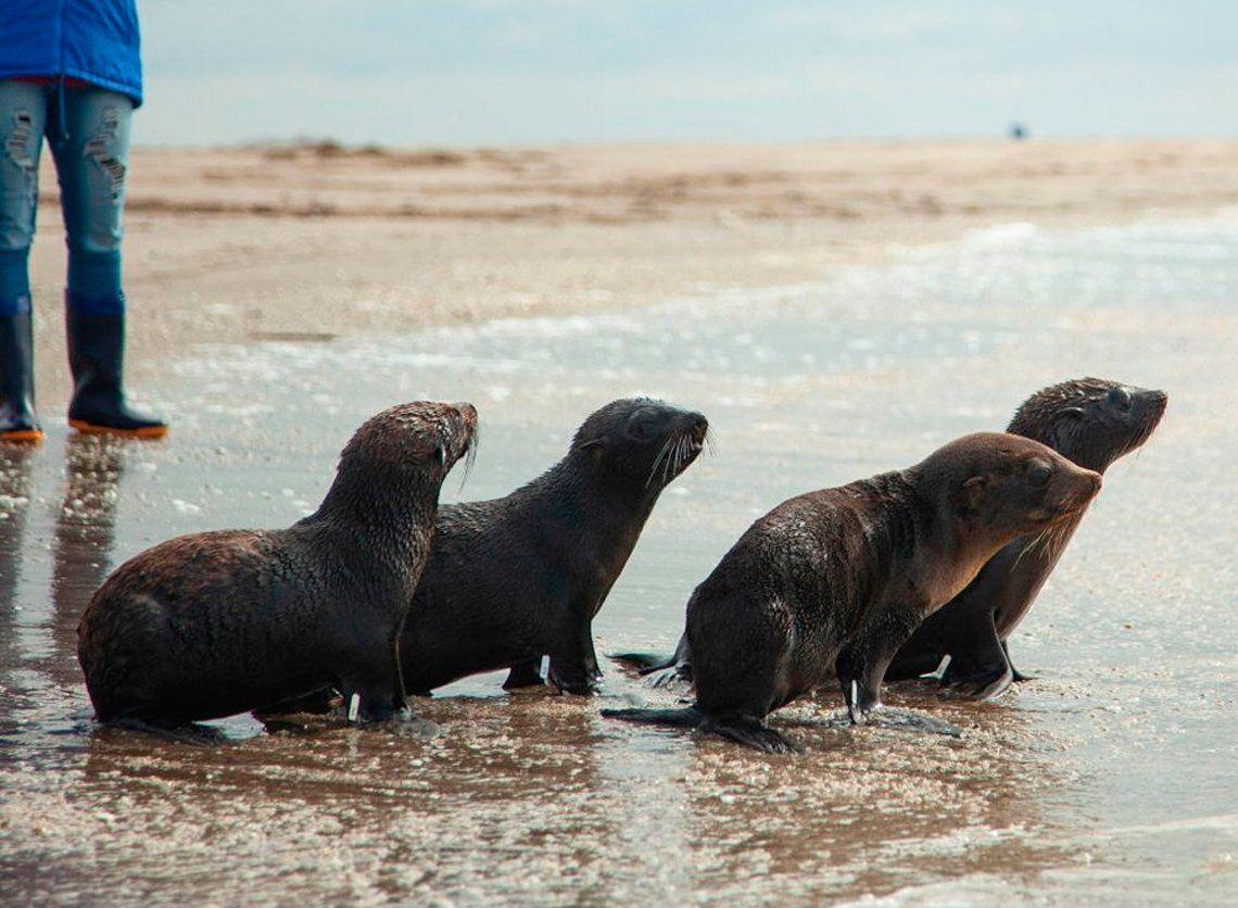 Lobos marinos vuelven al mar tras desnutrición