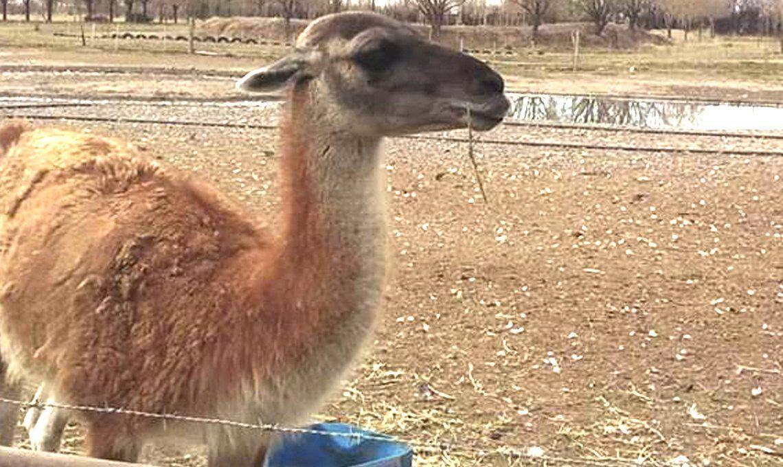 Brutalidad extrema: el guanaco que robaron de una reserva en Neuquén apareció muerto y mutilado