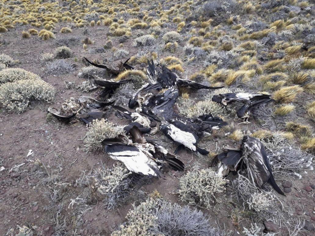 Hallan 6 cóndores y otros animales muertos en Santa Cruz