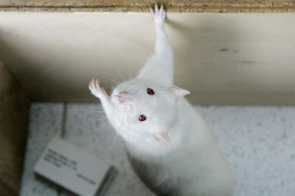 Descubren que ratas expuestas a radiaciones de celulares desarrollaron cáncer
