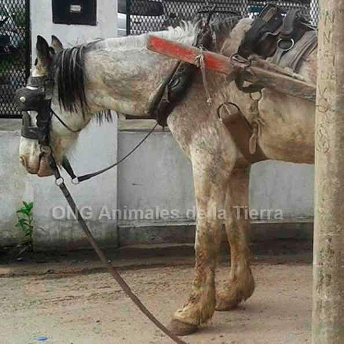 Los caballos de carro necesitan madrinas y padrinos para recuperarse