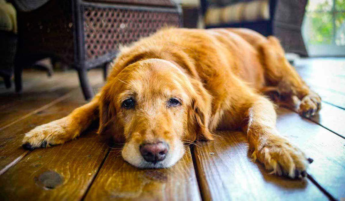 Consejos para cuidar a los perros que están más viejitos