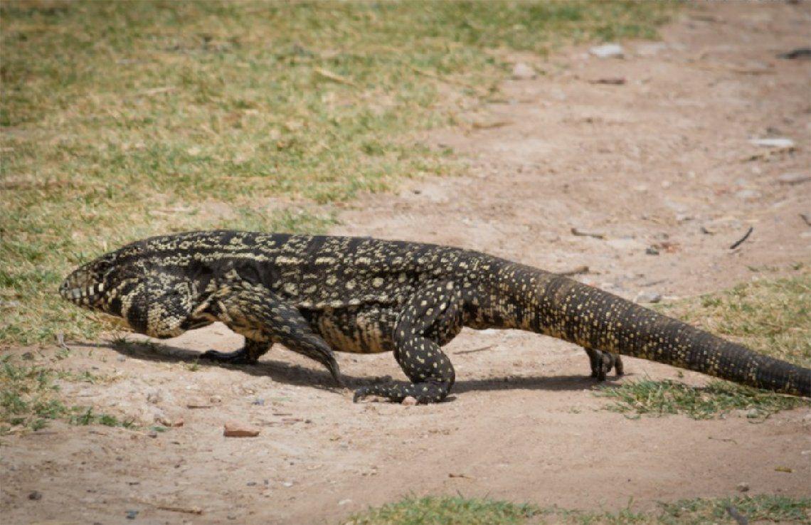 Quilmes: aparecieron dos lagartos overos de gran tamaño