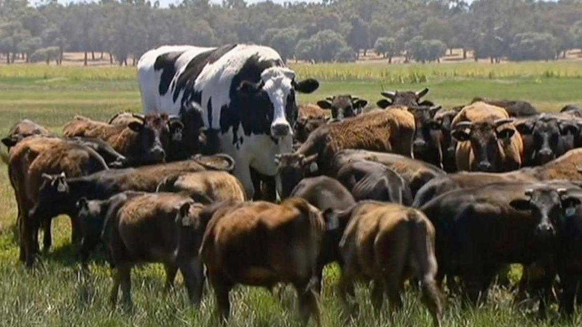 Una vaca australiana se salvó de ir al matadero por su gran tamaño
