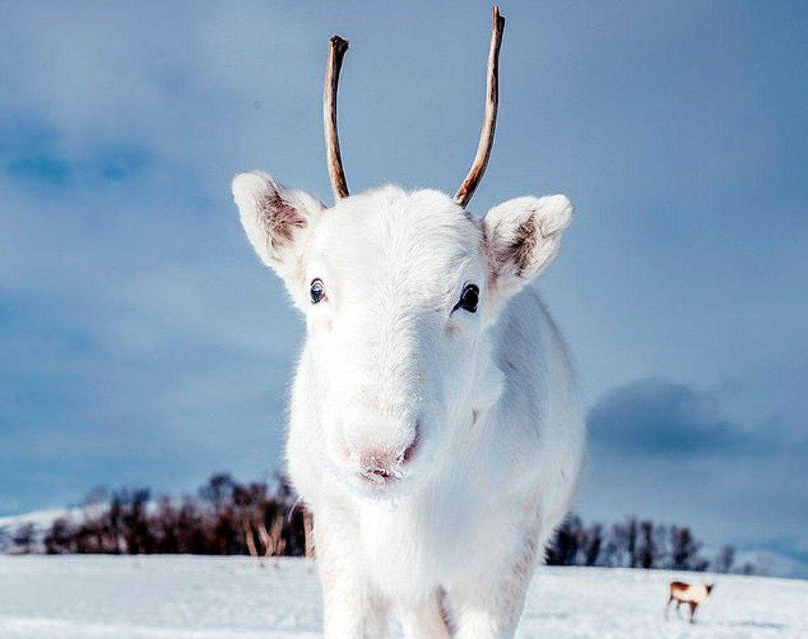 Un pequeño reno blanco se convierte en el animal más tierno del año