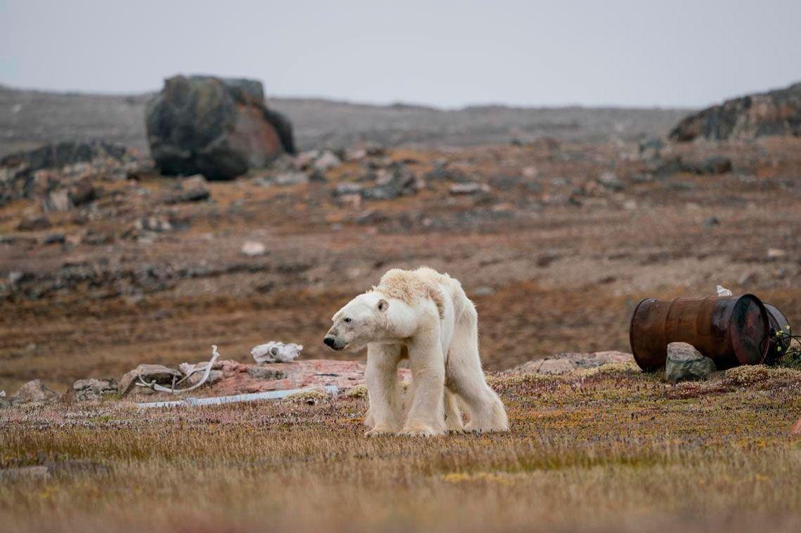A Polar Bears Struggle