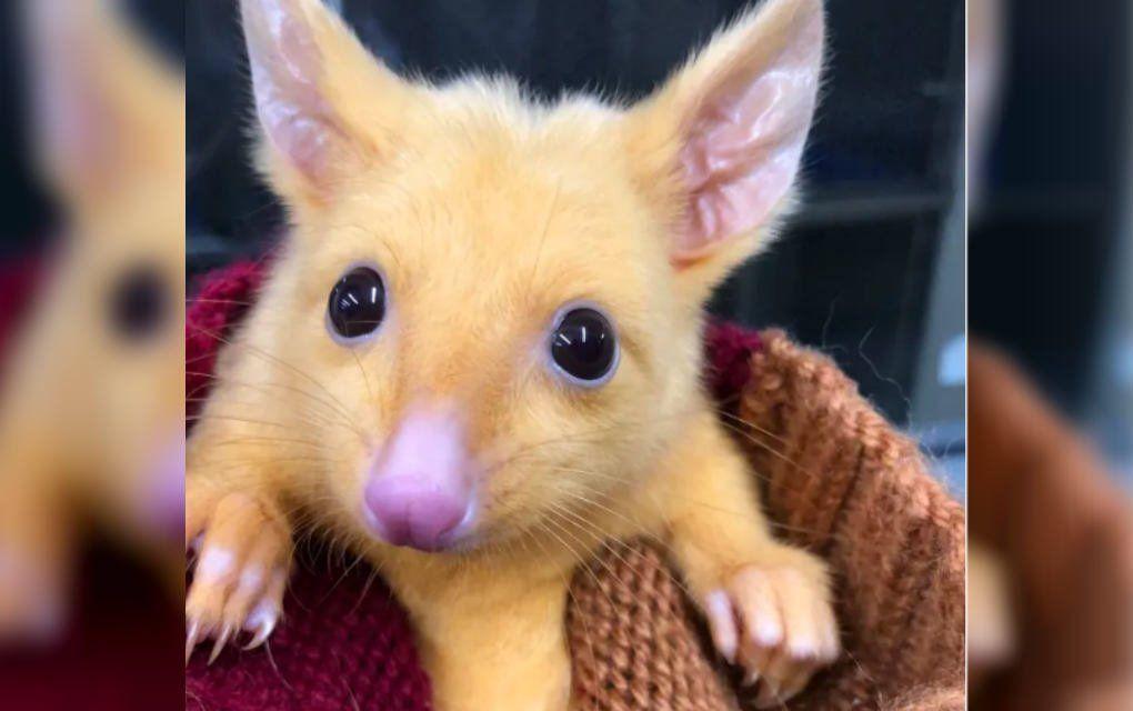 Increíble, pero real: encuentran un Pikachu en Australia
