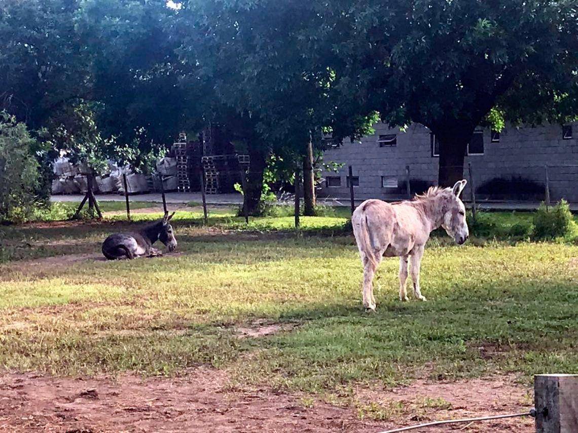 Cachamai: encontraron a Juanchi, el otro burro desaparecido