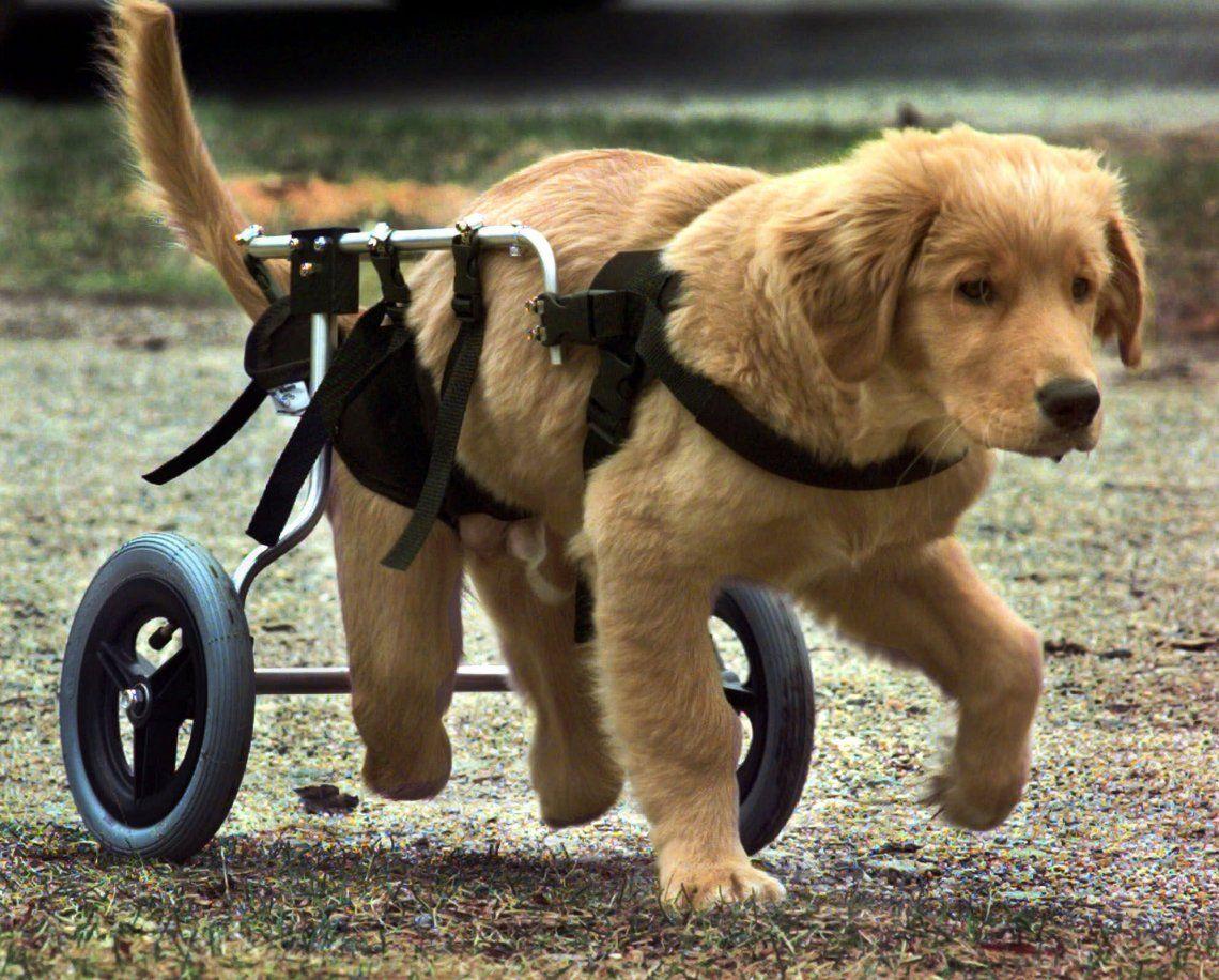 Crean en La Plata sillas de ruedas impresas en 3D para perros con dificultades motrices