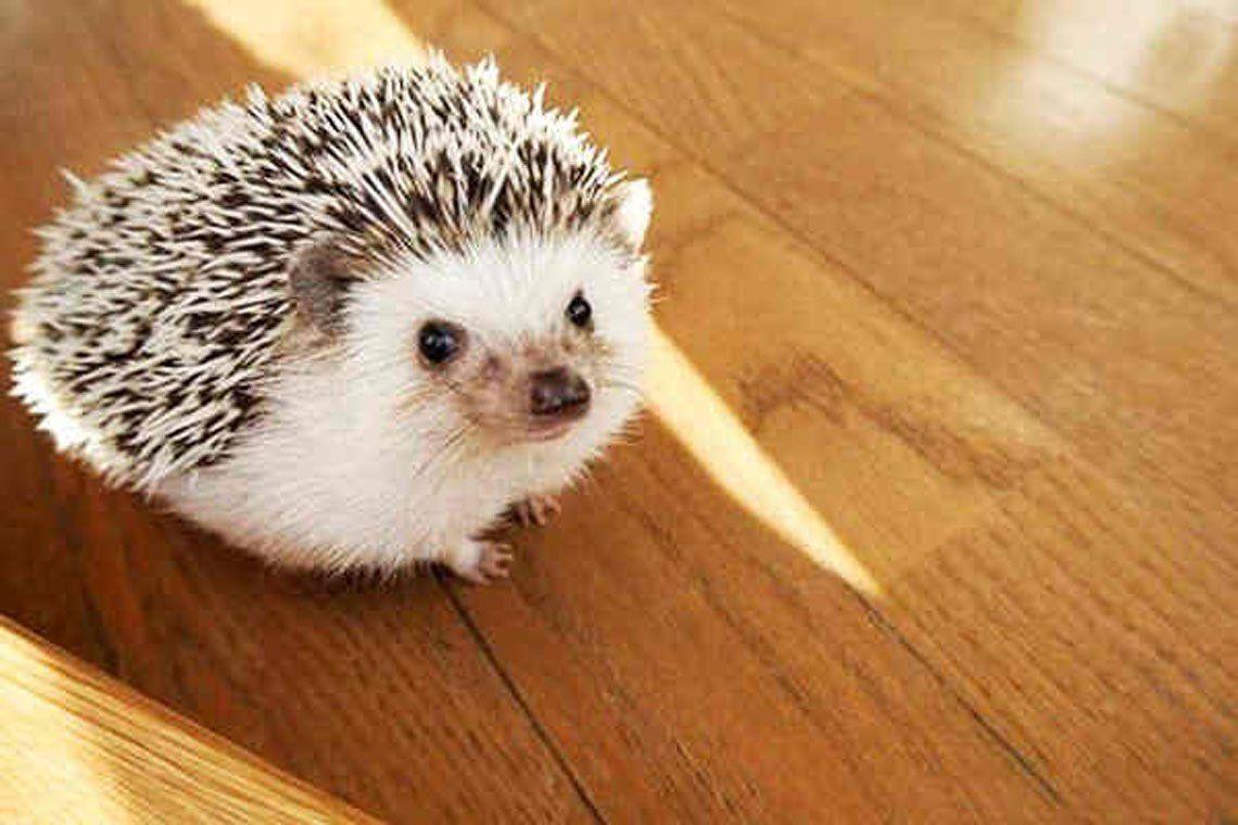 Erizos: una mascota tierna, que requiere cuidados especiales