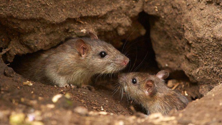 Hantavirus: según un estudio, el ratón macho contagia más que la hembra