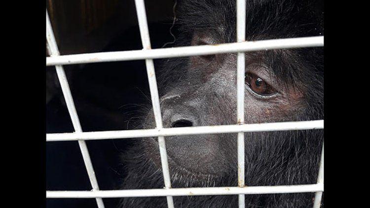 Un mono saltó de techo en techo en Belgrano hasta que fue rescatado