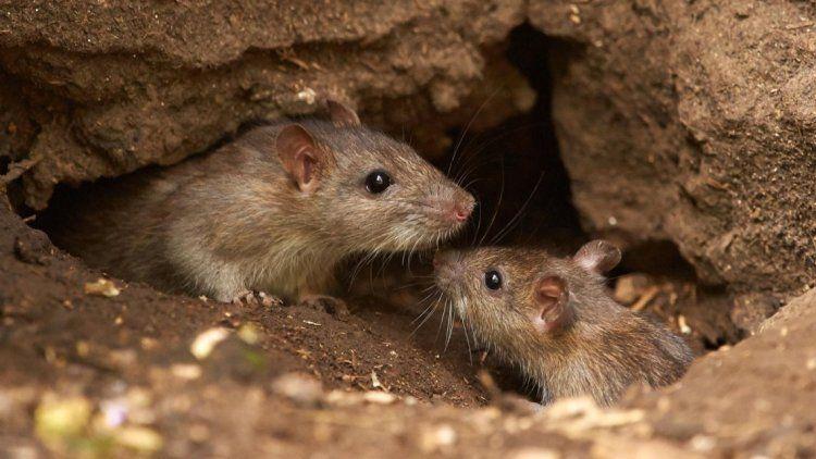 En pleno brote de hantavirus, un hombre cría ratas y genera preocupación