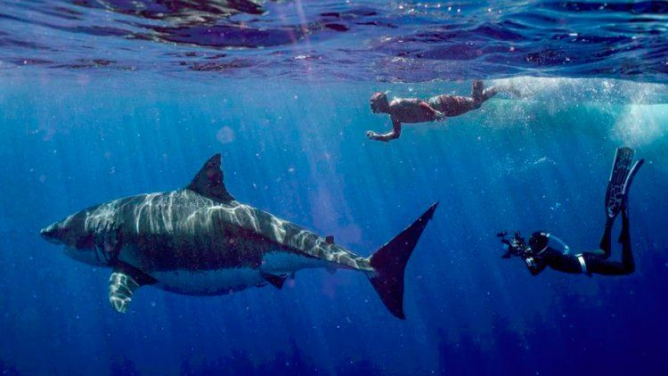 Captan imágenes de Deep Blue, el tiburón blanco más grande del mundo