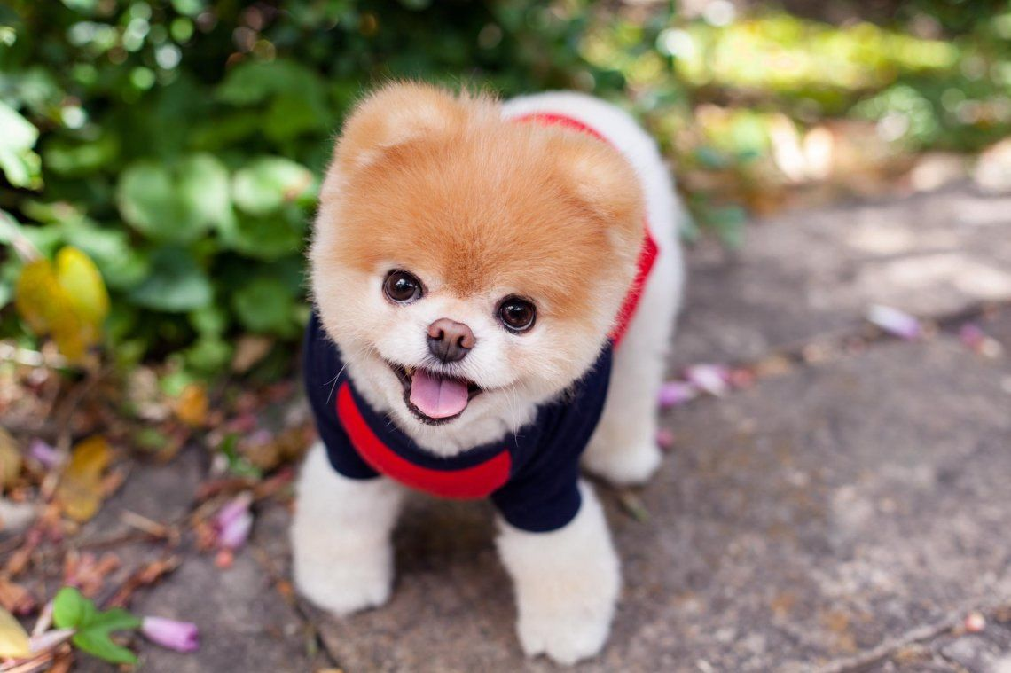 Murió Boo, el perrito más lindo del mundo