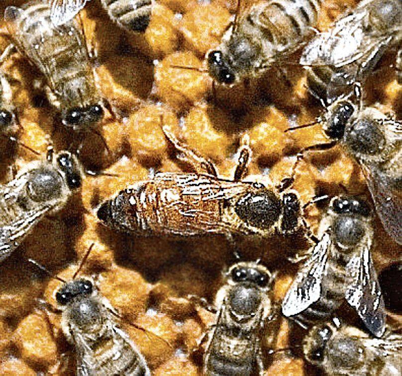 Las abejas pueden sumar y restar
