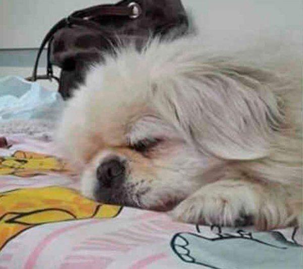 Buscan a este perrito perdido que toma medicación