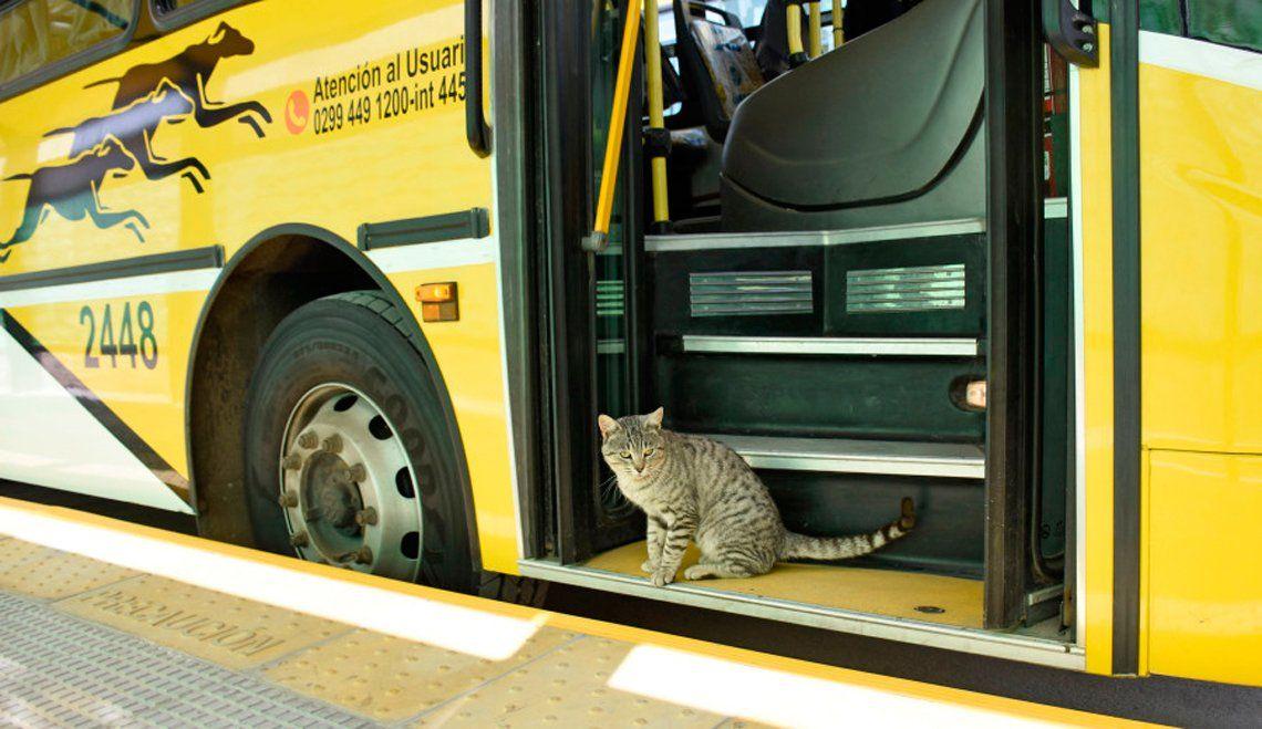 El gato que inauguró el Metrobus en Neuquén y se hizo viral