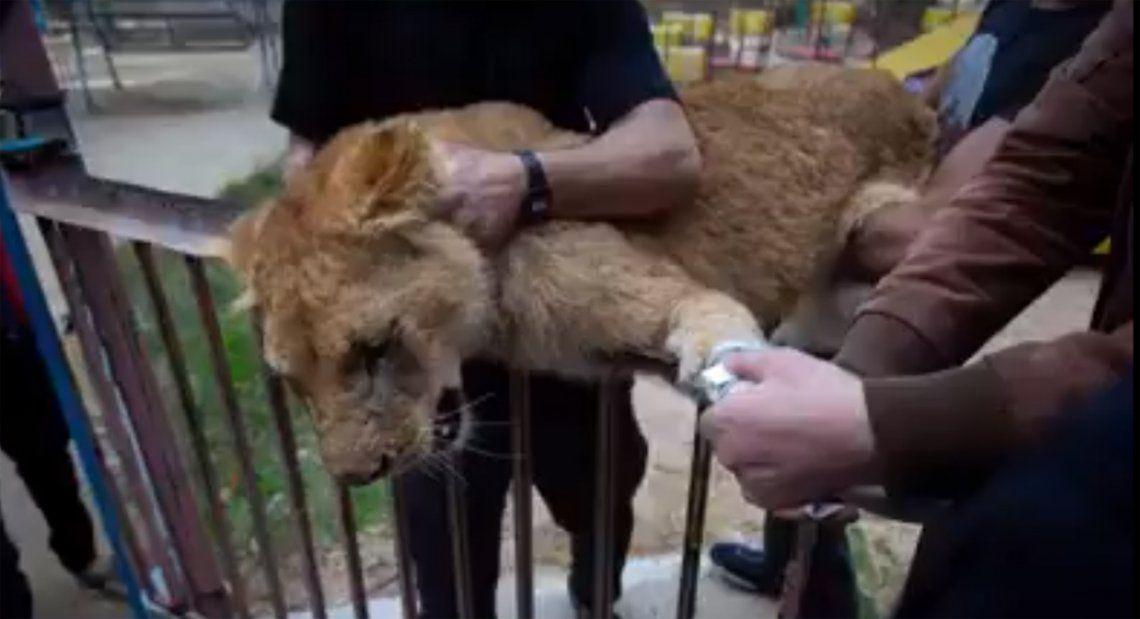 Le arrancaron las garras a una leona para que los visitantes de un zoológico puedan jugar con ella