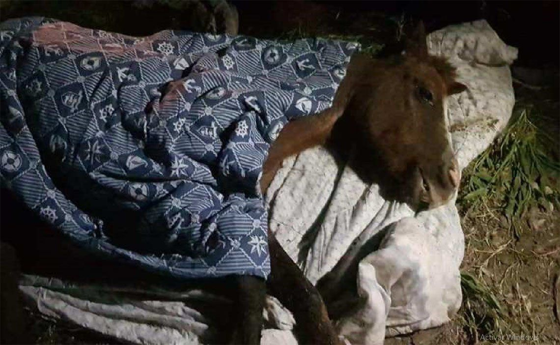 Quilmes: rescataron a un potrillo abandonado que se estaba muriendo en un basural