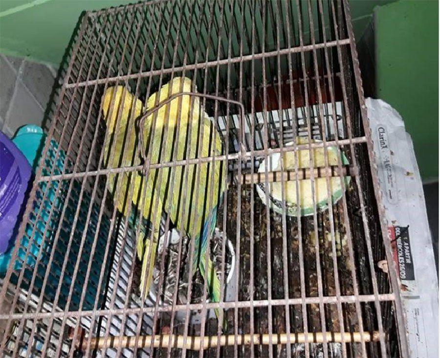 Quilmes: destiñen loros barranqueros y los venden como aves exóticas