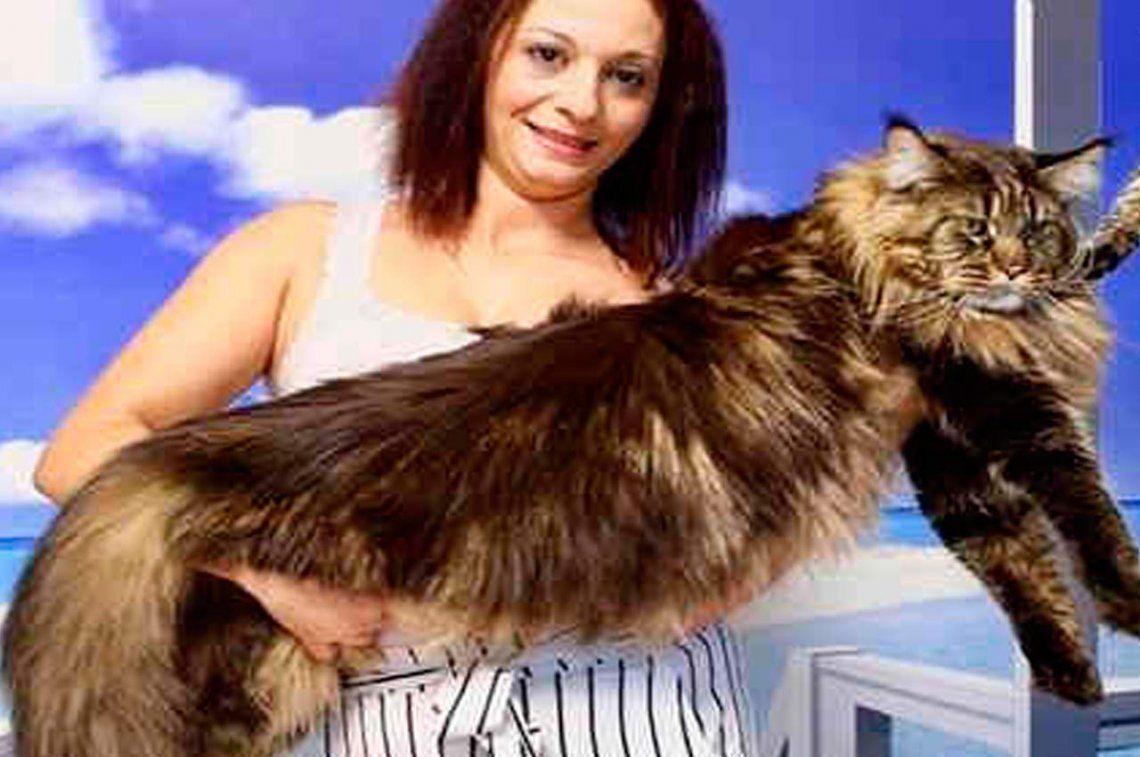 El gato más largo del mundo mide casi 120 cm y vive en Italia