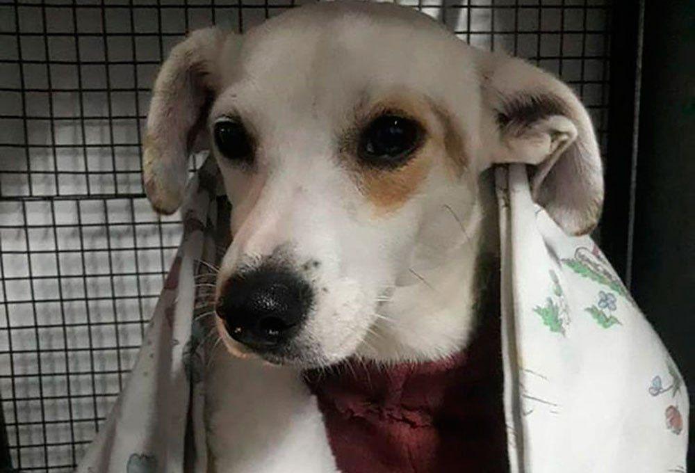 Se recupera Rosita, una perra que fue despellejada, y espera ser adoptada