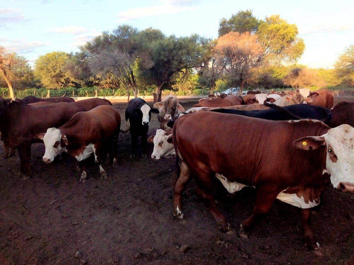 La faena de vacas marcó un nuevo récord