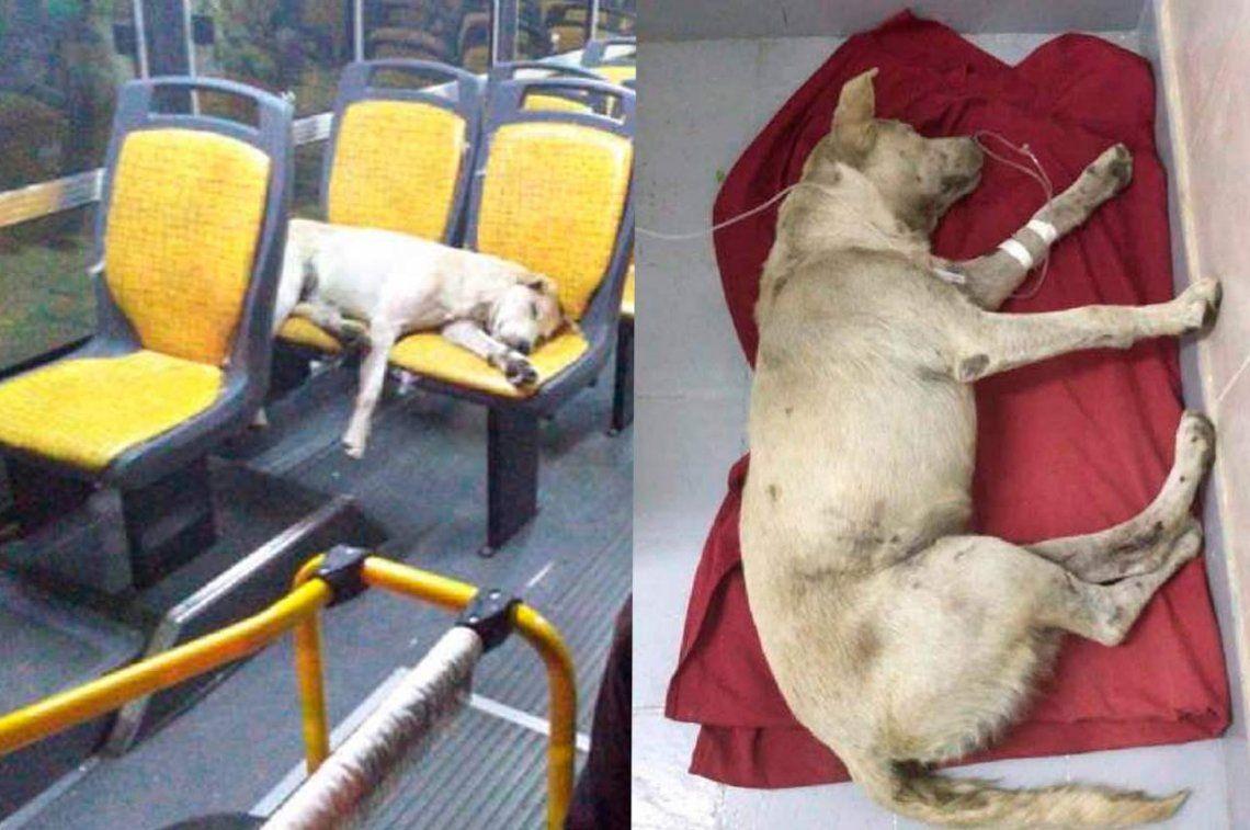 San Juan: internan al perro viajero con golpes y creen que fue atropellado