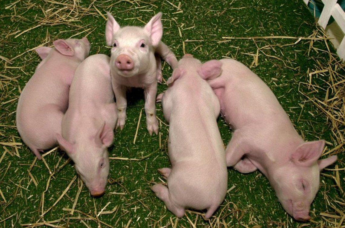 La crisis sanitaria del cerdo en China: buenas y malas noticias para la Argentina