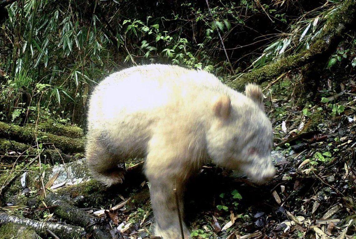 Captan la primera imagen de un oso panda albino