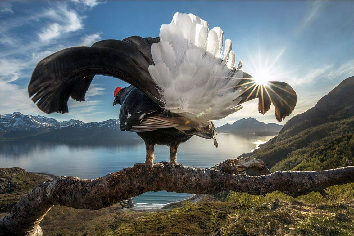 Ganador General:Black Grouse Showing Off |Tromsø