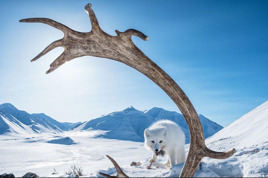Ganador categoríaLongest Migration: Norhtern Yukon